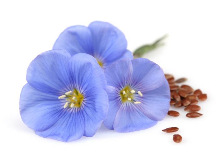 flax-flower